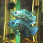 Why you should do your research before buying tropical fish