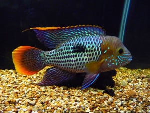 2012 09 01 archive also Bluemoorii furthermore Show further 317043 Wild Oscars moreover ConvictCichlid. on oscar acara tank mates