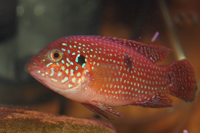 African Cichlid (non-Rift)