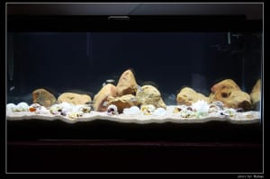 Shell Dwellers in bare looking tank