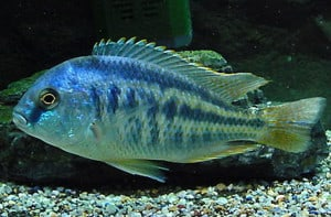 Bream chilotilapia rhoadesii tropical fish site for Bluegill fish tank