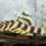 Candy Striped Pleco – Peckoltia Vittata, L15