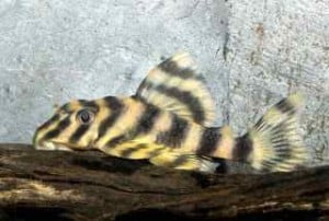 candy_striped_pleco