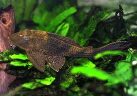 Common Pleco Hypostomus Plecostomus Tropical Fish Site