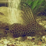 Cuckoo Catfish – Synodontis Multipunctatus | Tropical Fish ...