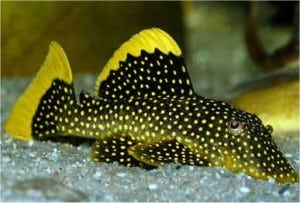 golden_nugget_pleco