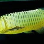 Green Asian Arowana – Scleropages Formosus