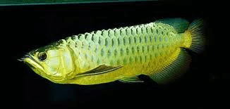 green-asian-arowana