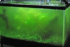 Types of algae growth found in a tropical fish tank for How to keep fish tank clean without changing water