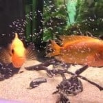 Should I buy fry or adult tropical fish