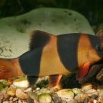 How Long Do Tropical Fish Live For