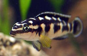 Masked Julie - Julidochromis Transcriptus Tropical Fish Site