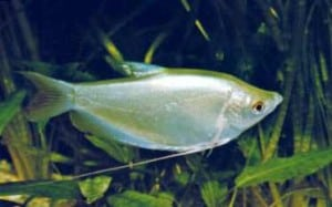 moonlight_gourami
