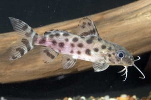 ocellated_synodontis
