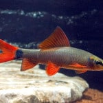 Rainbow Shark – Epalzeorhynchos Frenatum