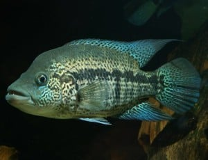 Wolf cichlid parachromis dovii tropical fish site for Goliath tiger fish for sale