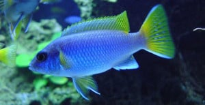 yellow_tail_acei