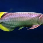 Banjar Red Arowana – Scleropages Formosus