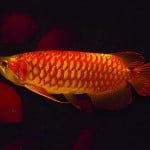 Chili Red Arowana – Scleropages Formosus