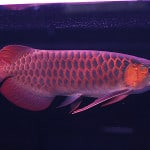 Red Asian Arowana – Scleropages Formosus