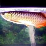 Red-tailed Golden Asian Arowana – Scleropages Formosus