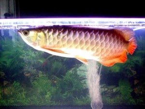 Red Tailed Golden Asian Arowana Scleropages Formosus
