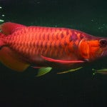 Super Red Asian Arowana – Scleropages Formosus