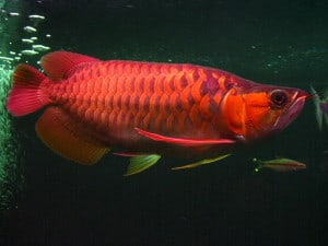Super Red Asian Arowana