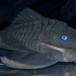 Why do plecs have curved pupils?