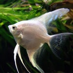 Platinum Angelfish – Pterophyllum Sp