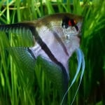 Silver Angelfish – Pterophyllum Sp