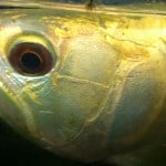 Arowana Droop Eye Syndrome