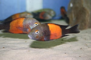 Recommended Tank Mates For Tropheus Tropical Cichlid Fish