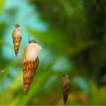 How To Control Snails In The Home Aquarium