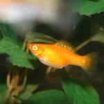 Blood Red Molly – Poecilia Latipinna