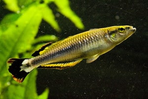 Madgascan Rainbowfish
