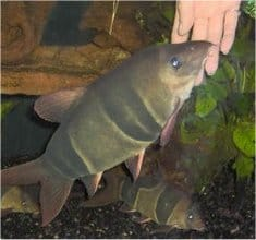 Massive Clown Loach