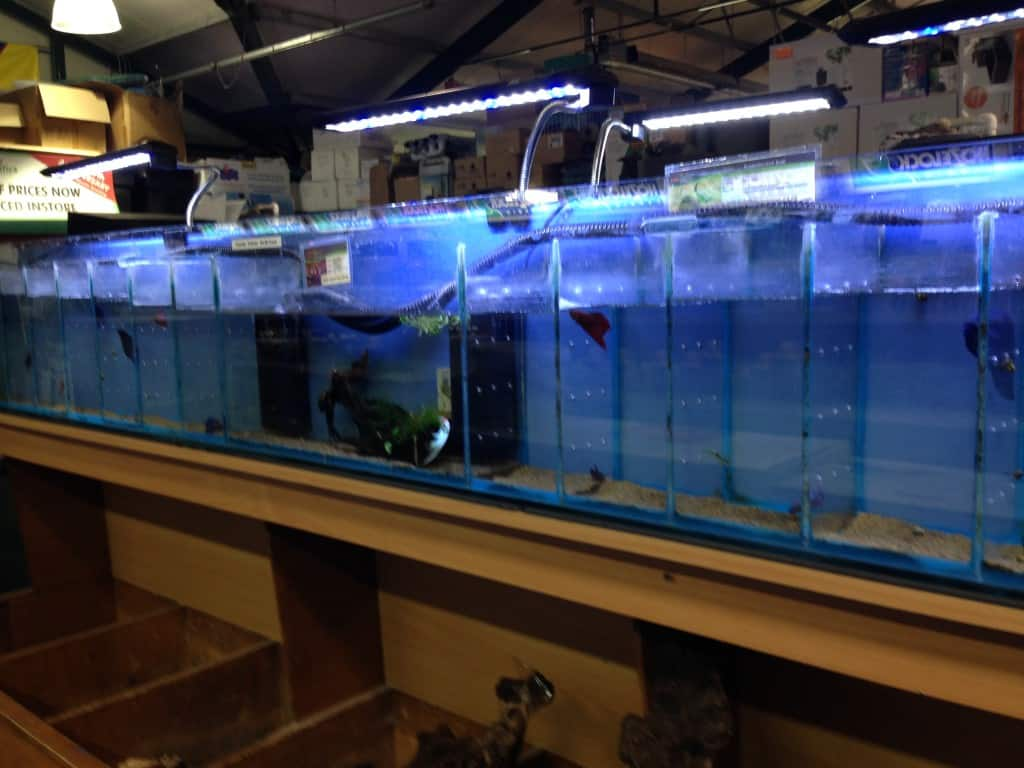 Aquarium fish tank northamptonshire - It Is Clear When You Walk In To The Small To Medium Sized Northampton Branch Of Maidenhead Aquatics That The Focus Is On Community Fish With Half The Store