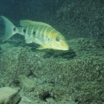 Giant Cichlid – Boulengerochromis Microlepis