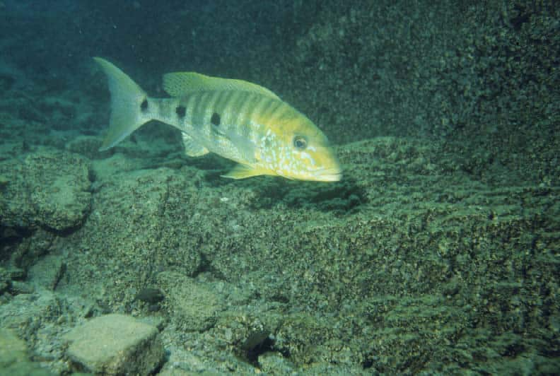 giant-cichlid-boulengerochromis-microlepis