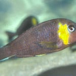 Tropheus Red Cheek – Tropheus sp. Mpimbwe
