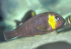 tropheus-red-cheek