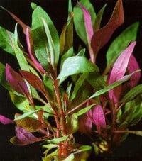 Alternanthera Reineckii Purple Lilacina 1