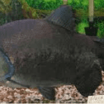 Black Pacu – Colossoma Macropomum