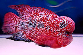 Cross breeding tropical fish tropical fish site for Flower horn fish price