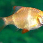 Gold Tiger Barb – Puntius Tetrazona