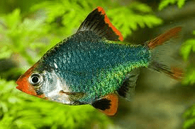 green-tiger-barb