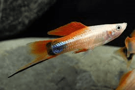pinapple-swordtail