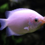 Pink Kissing Gourami – Helostoma Temminckii