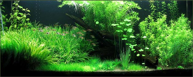 The Key To A Successful Planted Fish Tank Aquarium Tropical Fish Site
